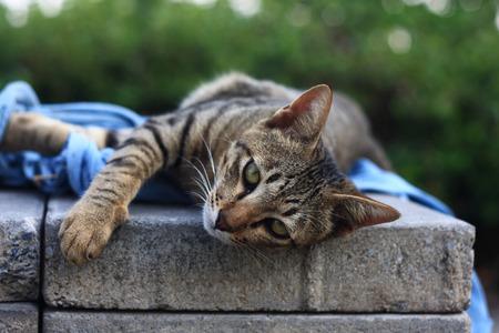 Cat   as domestic animal