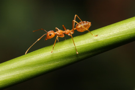 extreme close up: Ant walking to Foraging on a branch
