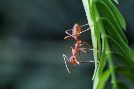 hormiga hoja: Las hormigas caminando en una rama