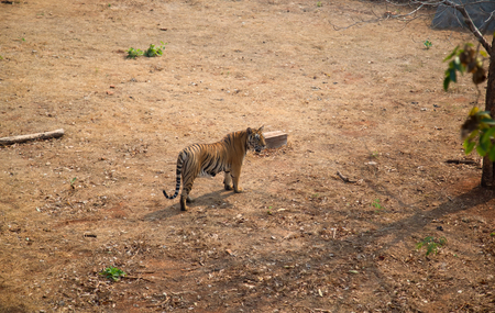 The tiger  is the largest cat species
