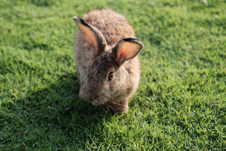Rabbits are small mammals in the family Leporidae of the order Lagomorpha Stock Photo