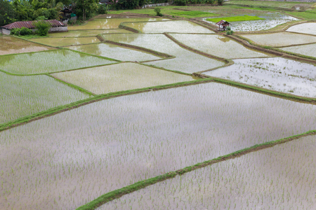 Rice Fied in Thailand