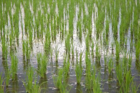 Rice seedings texture