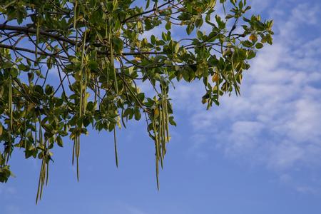 Mangroves Tree