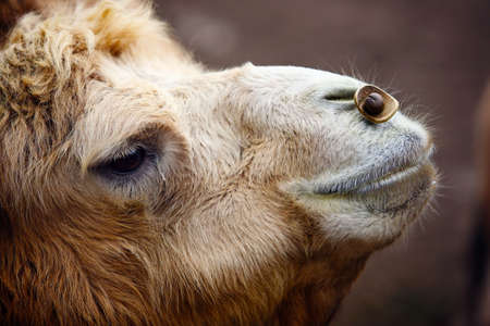 honest: Camel looking upward with simple features honest and cute.
