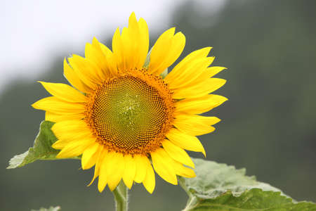 Close-up photos of beautiful sunflowers, Stock Photo