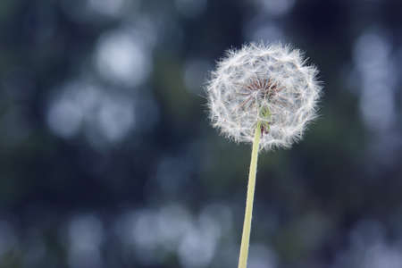 Dandelion in front of a blue background photo