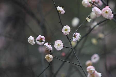 Beautiful plum, taken in western china Stock Photo - 12303036