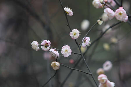 Beautiful plum, taken in western china Stock Photo - 12303036