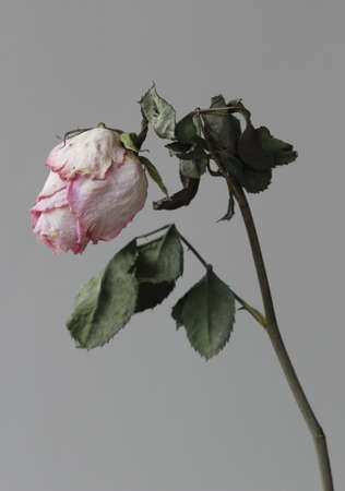 atrophy: Withered flowers, withered, atrophy, in the gray background