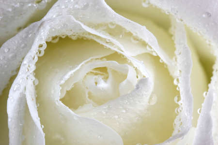 slightly: Elegant white rose, petals strewn with rain, light white slightly yellow, Stock Photo