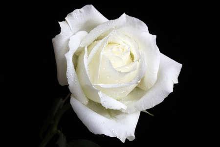 Elegant white rose, petals strewn with rain, light white slightly yellow, Stock Photo