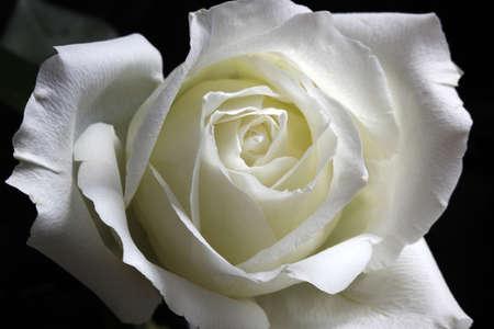 Elegant white rose, petals curled, faint white slightly yellow, Stock Photo
