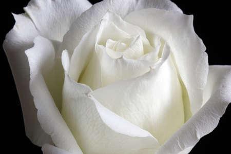 Elegant white rose petals, bending, faint white slightly yellow,
