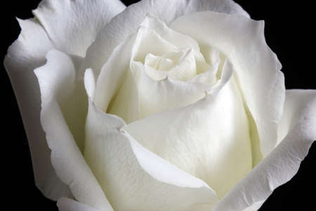Elegant white rose petals, bending, faint white slightly yellow,