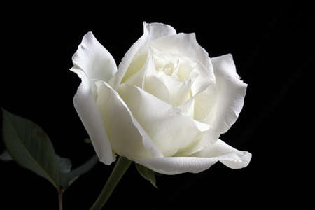 The white rose petals, bending, faint white slightly yellow,