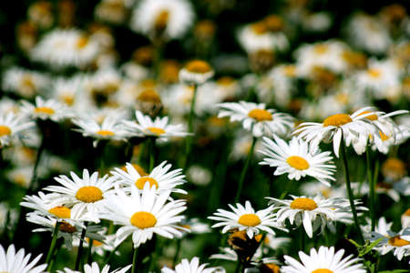 stirred: A breeze stirred the lush blooming white daisies