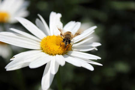 A dark background, the bees in the white daisies on feature Stock Photo