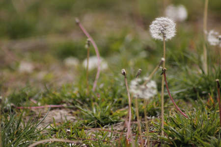 The grass covered with many white dandelion