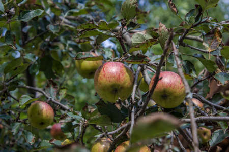 The mature red apples hanging over the apple tree Stock Photo