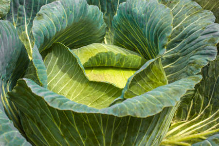 The sunshine of the healthy growth of green cabbage