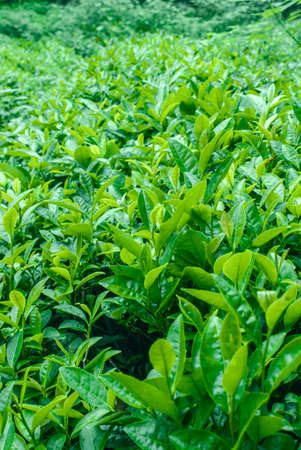 The sunlight outside green tea close-up Stock Photo