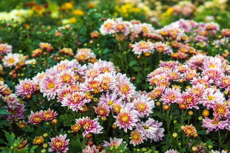 The garden blooming bright pink daisy