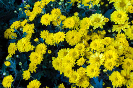 Bright blooming yellow daisies close-up