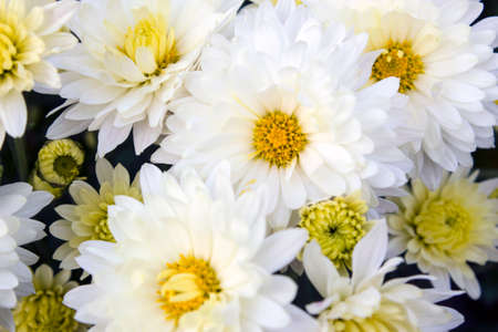 The bright white daisies in full bloom close-up Stock Photo