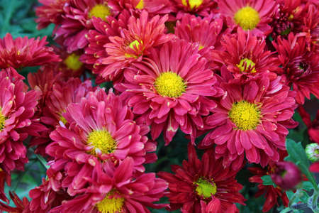 The garden blooming bright red Daisy Stock Photo