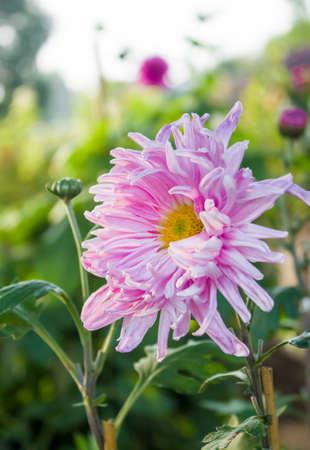 Pink, chrysanthemum in full bloom sun backlighting irradiation Stock Photo