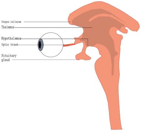 choroid: Human eye anatomy Illustration