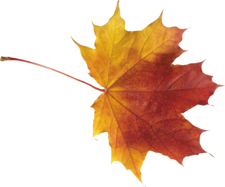 autumn maple leaf isolated on white background  Stock Photo