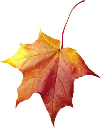 autumn maple leaf isolated on white background Imagens - 24119558