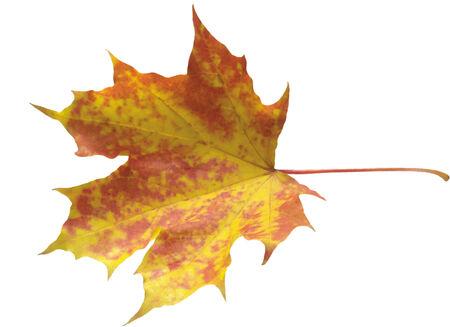 autumn maple leaf isolated on white background  Imagens