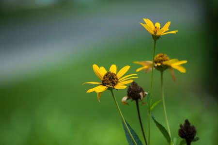 Wildflower: yellow wildflower