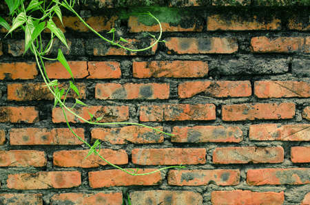 brickwalls: Green Ivy brick wall
