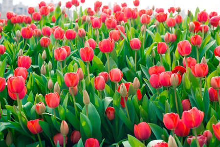 red tulips: Red tulips