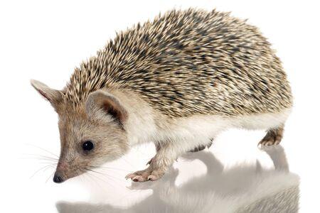 little hedgehog isolate on white photo