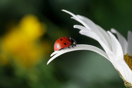 red ladybug on flower petal Stock Photo - 9605946