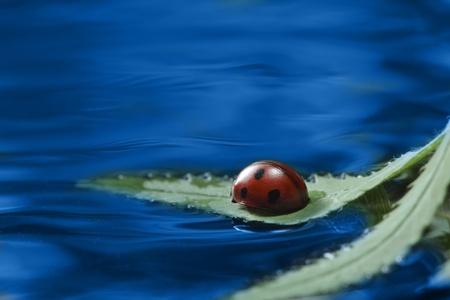 ladybug on leaf in water photo