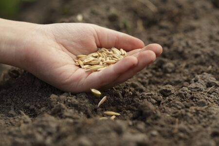 sow: sowing seed