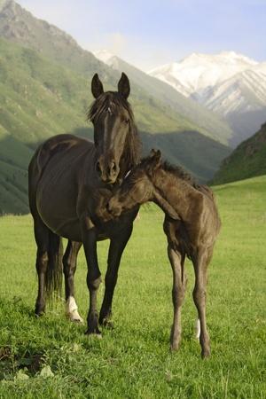 yegua: caballo Foto de archivo