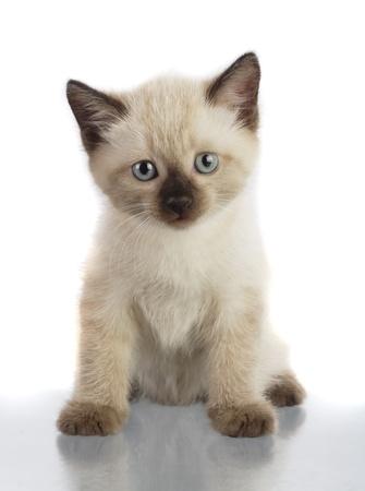 siamese cat: kitten Stock Photo