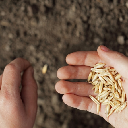 sowing wheat Stock Photo - 12413520