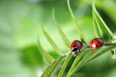 ladybug with water drop on green leaf photo