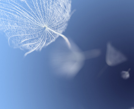 flying dandelion seeds on a blue background photo
