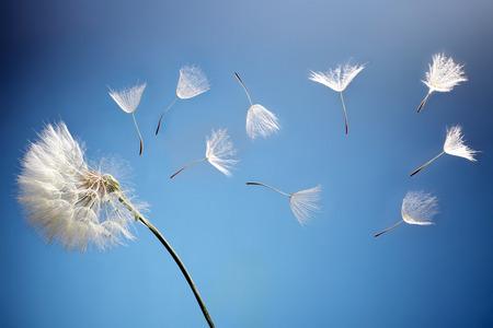 dandelion flower: flying dandelion seeds on a blue background