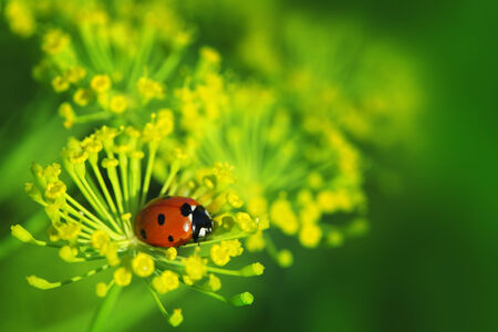spotted flower: ladybug on green leaf dill Stock Photo
