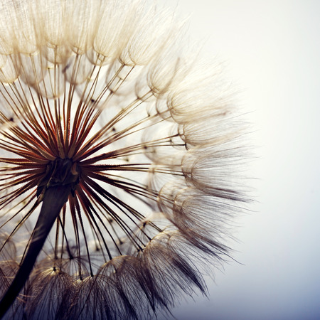 dandelion wind: big dandelion on a blue background